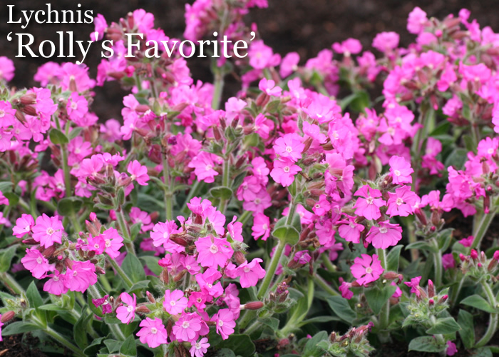 "Plant of the Week: Lychnis ""Rolly's Favorite"""