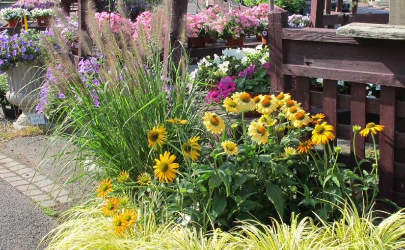 Tina's Garden: Combining Ornamental Grasses and Coneflowers
