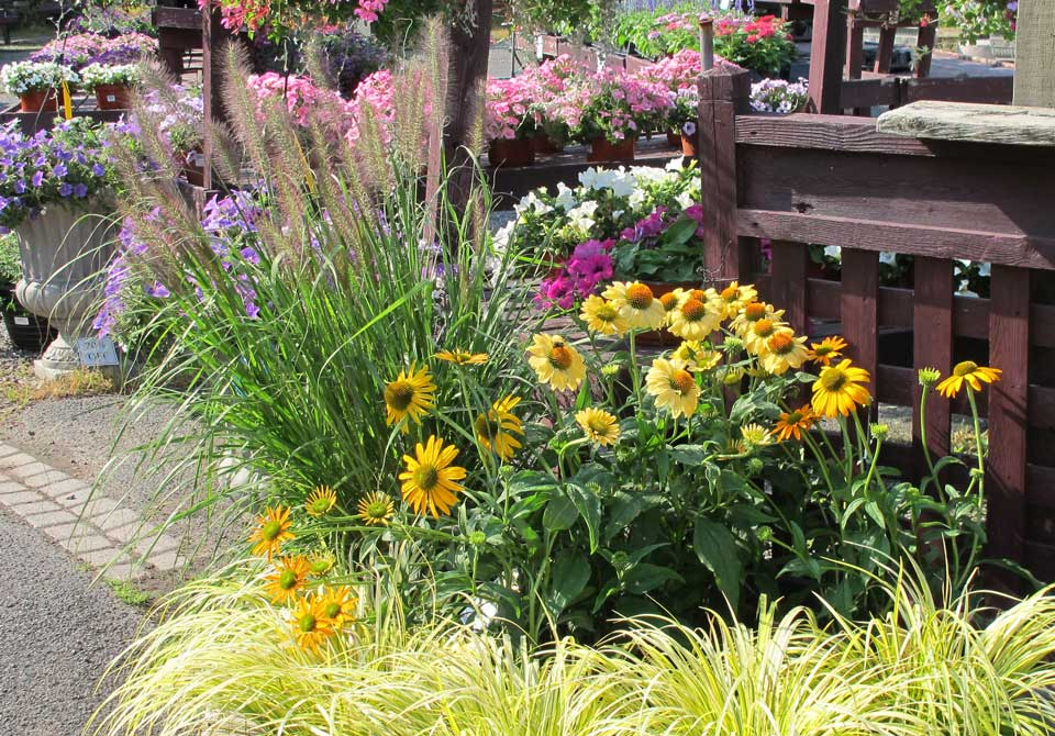 Ornamental Grasses and Coneflowers