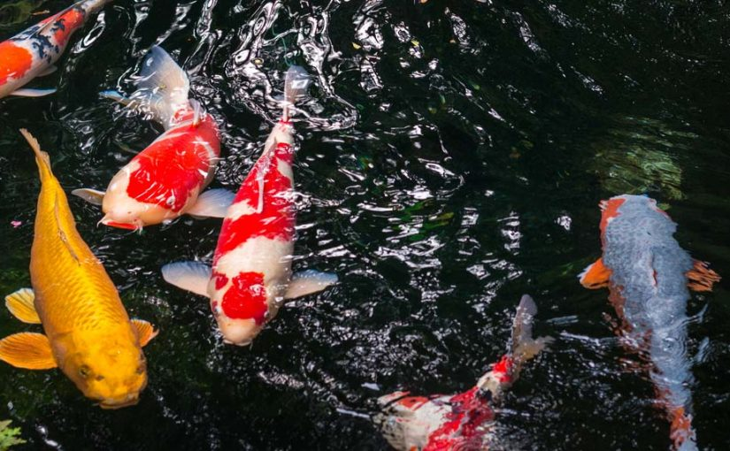 Gardening tips archives down to earth living for Koi fish pond for beginners