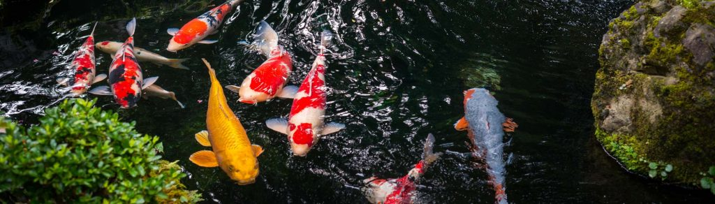 tips for starting a koi pond down to earth living