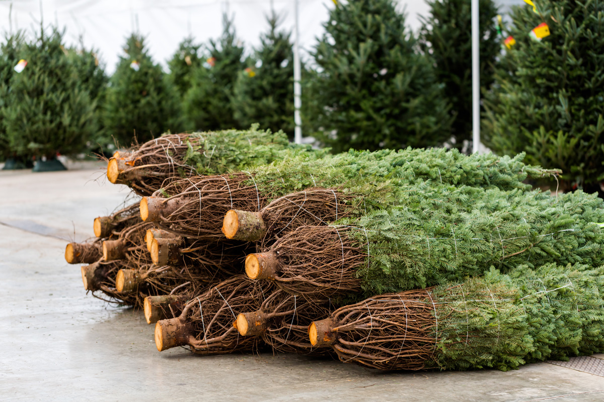 Fresh-Cut Christmas Trees