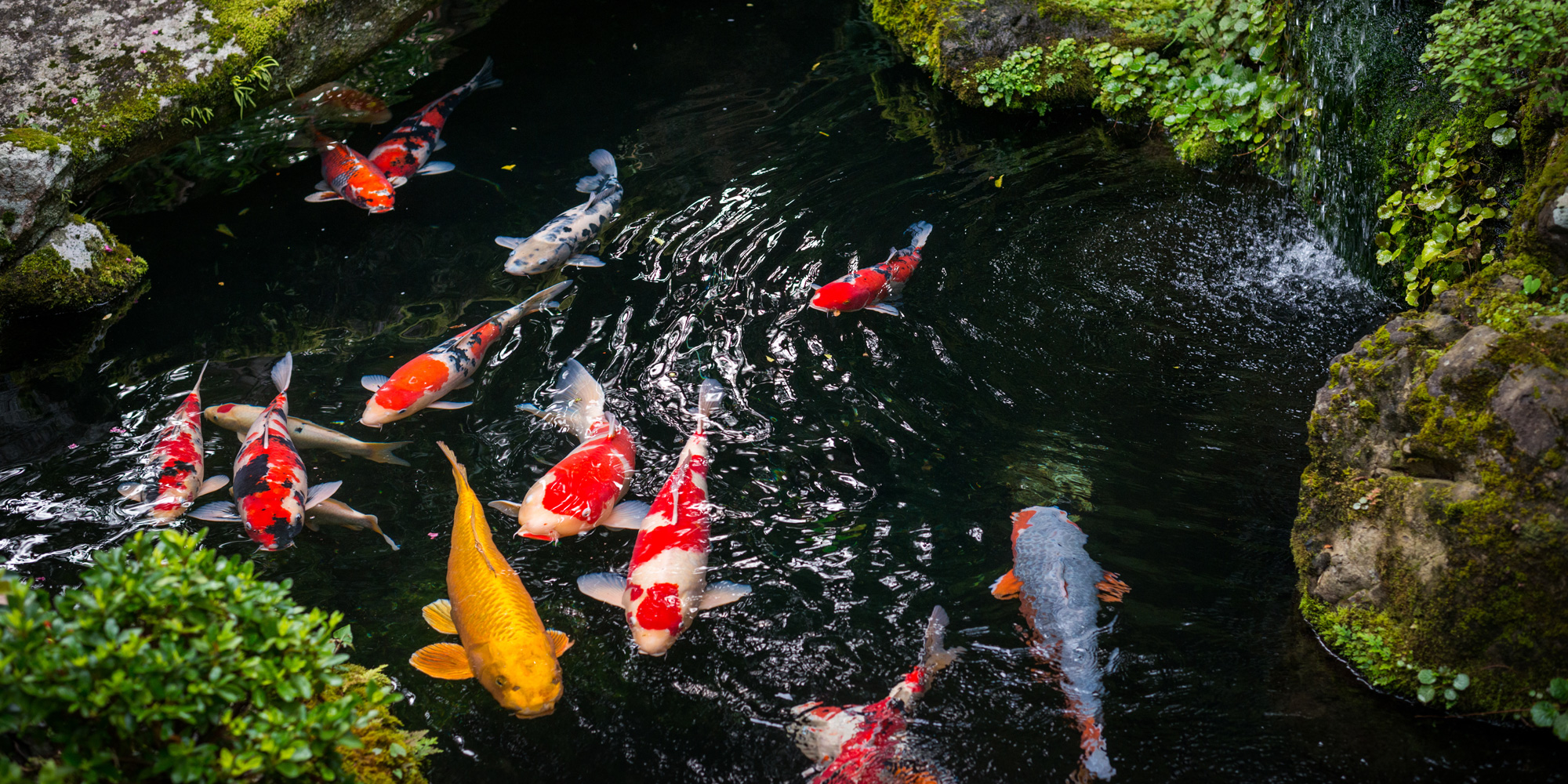 Koi ponds and fish down to earth living for Japanese koi garden centre