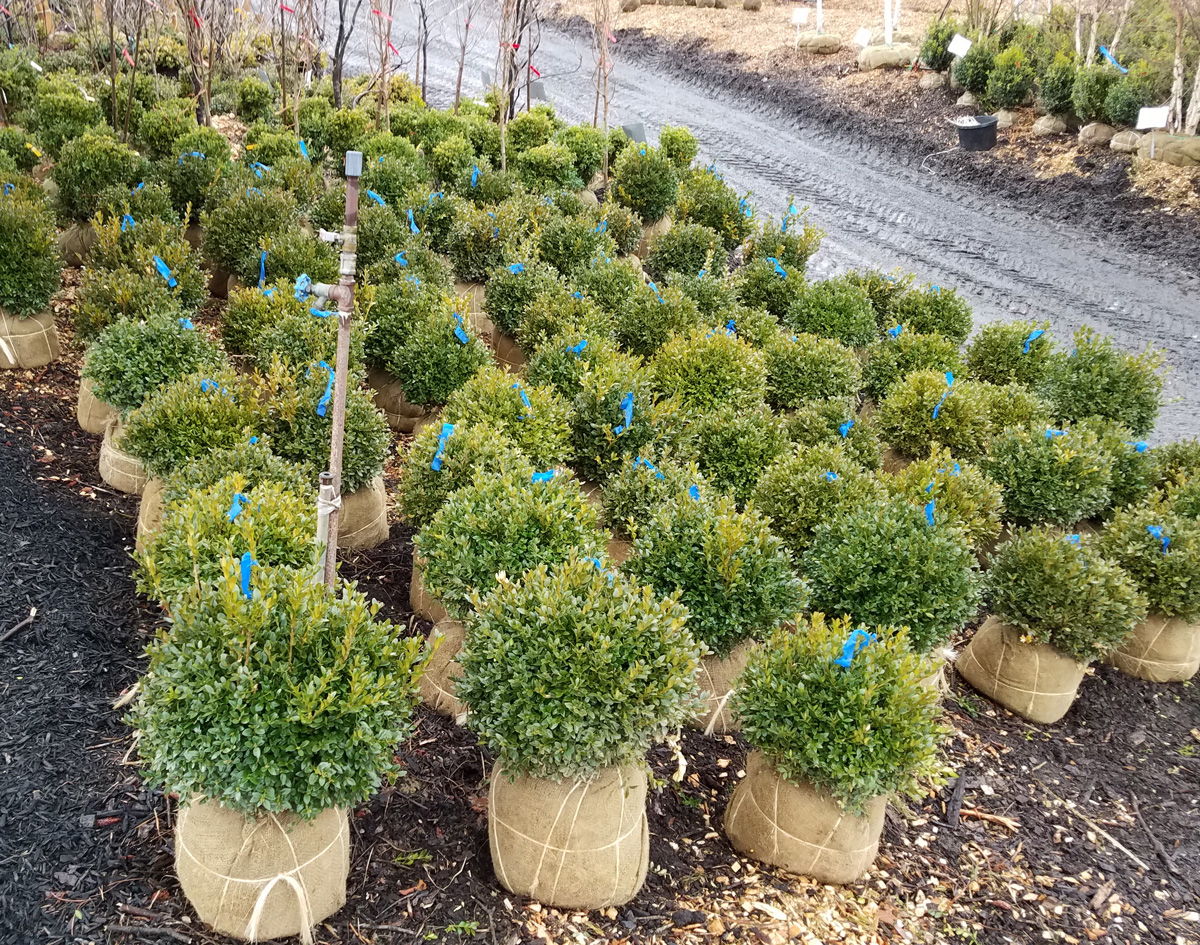 Ready-to-Plant Shrubs