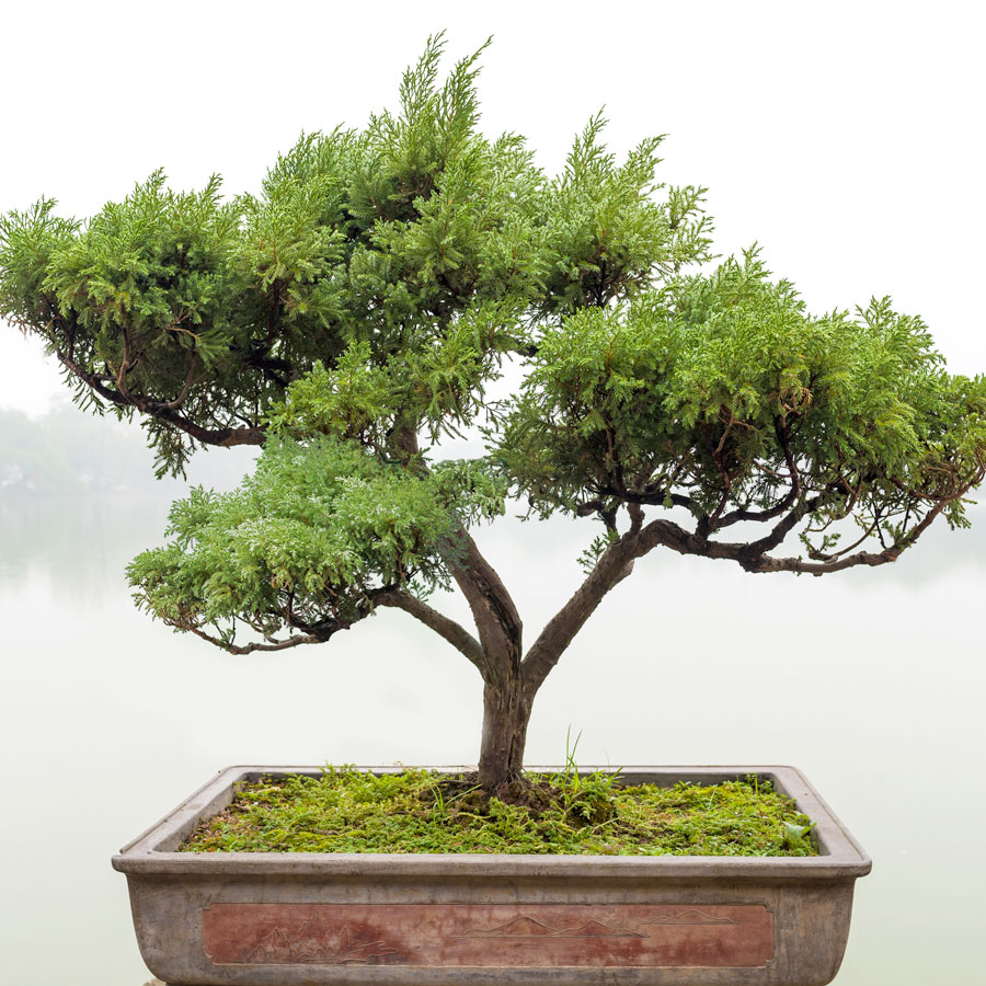 Bonsai Event