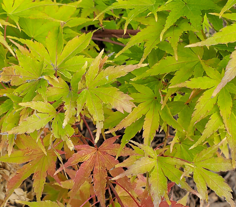 Close up of Japanese Maple Leaves