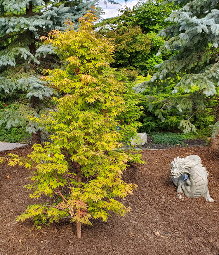 Japanese Maples and Statuary