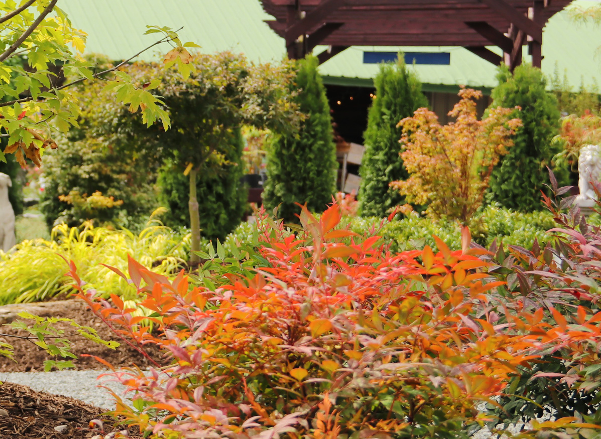 Gorgeous Colors in our Japanese Maple Garden