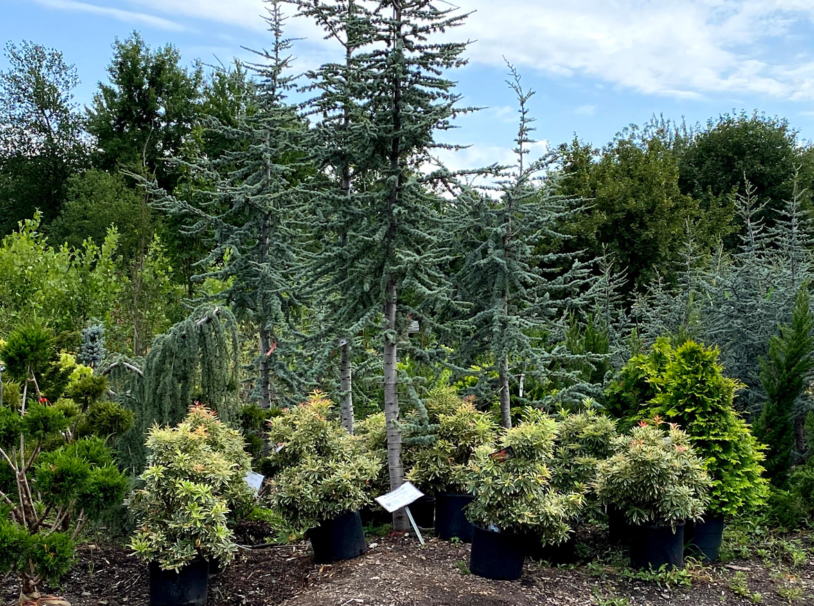 A Huge Selection of Shrubs, Trees and Specimens