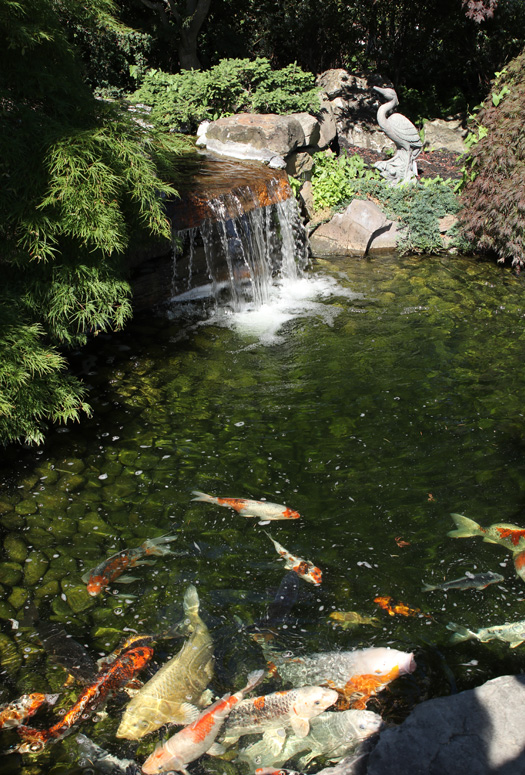 Our Koi Pond