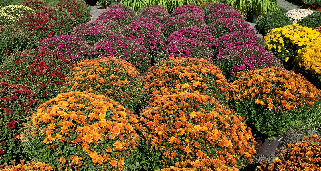 Mums for Days!