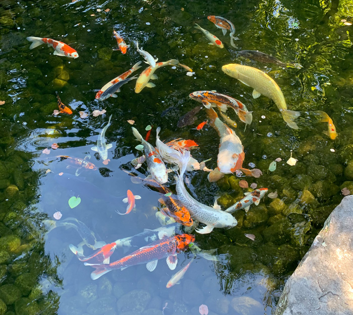 Come feed the koi and learn about keeping a pond of your own