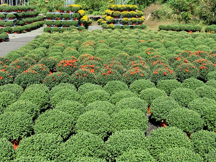 Hundreds of Mums now in our Garden Center