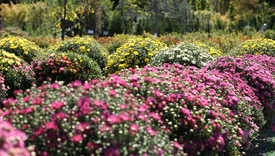 Our Massive Garden Center is Stocked with Mums and Fall Decorations