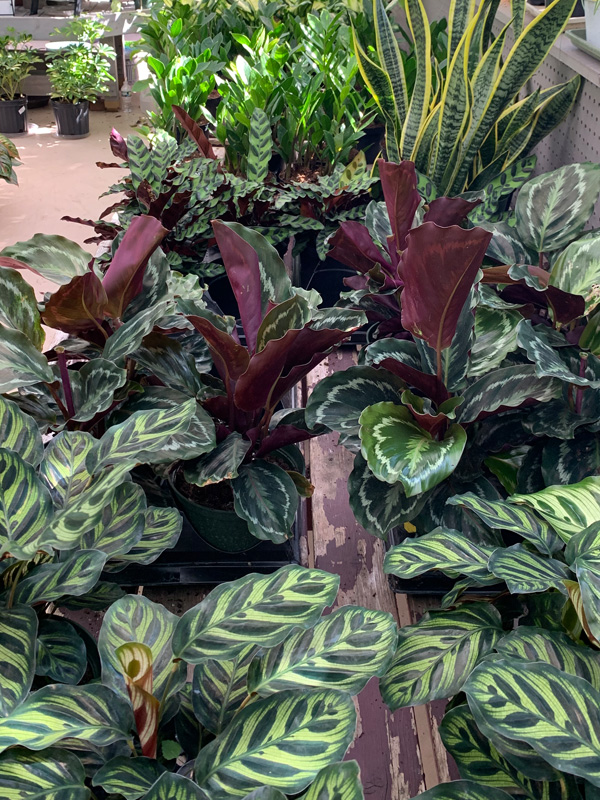 Browse our Houseplants